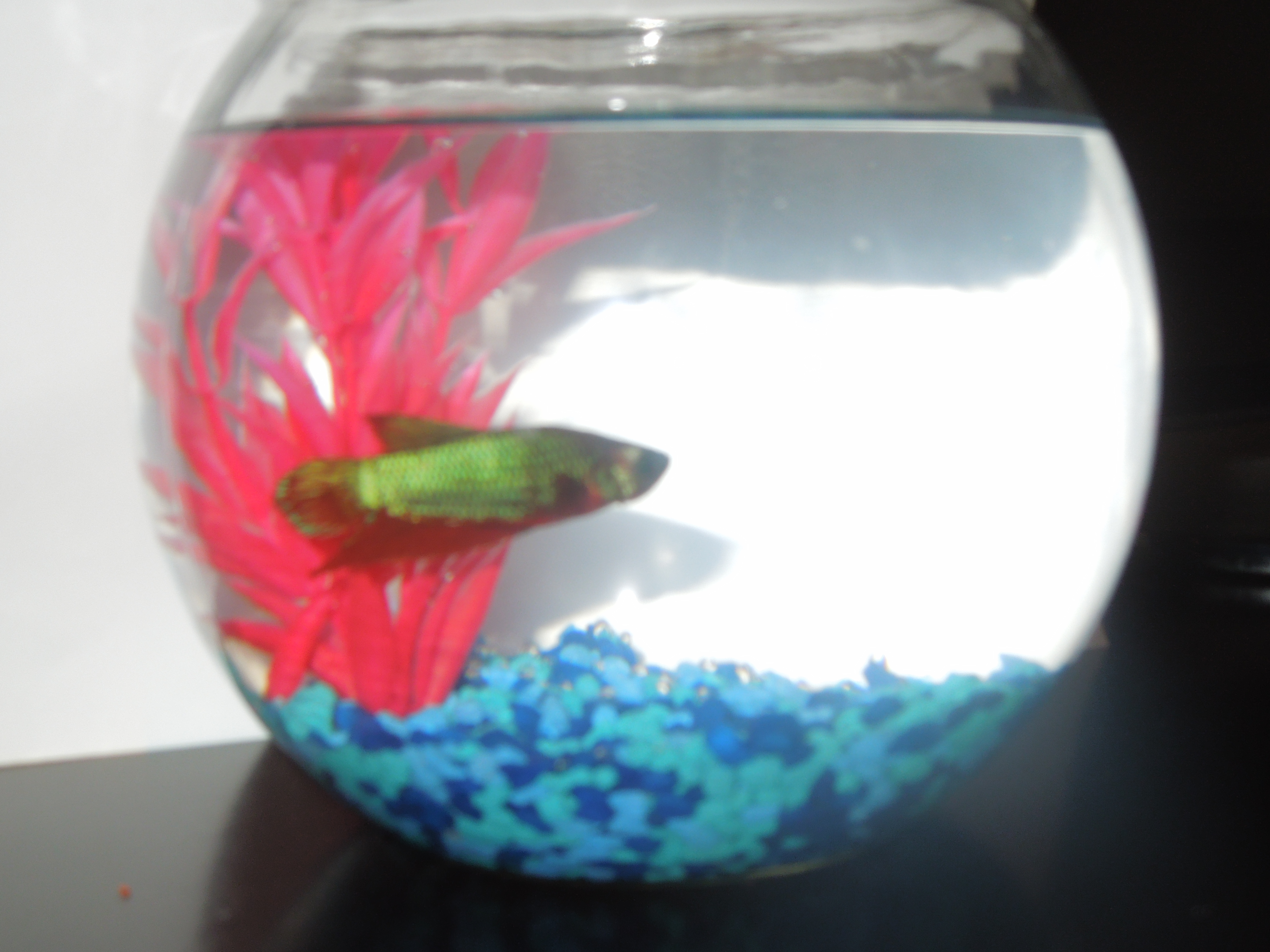 Introducing bob the betta fish charlottes journey home this reviewsmspy